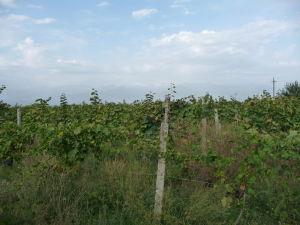 Vinice v regióne Kacheti