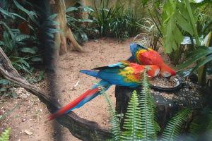Ara červená (arakanga)