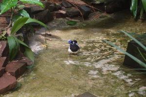 Kapuciarka čiernochochlatá (sojka)