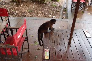 Táto opička si už dačo ukradla