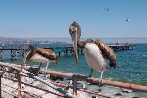 Pelikány čakajúce na hostinu