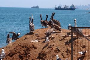 Pelikány a čajky čakajú na svoj prídel