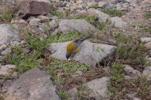 Hladný žltý vtáčik