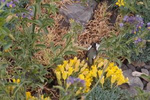 Večerajúci kolibrík