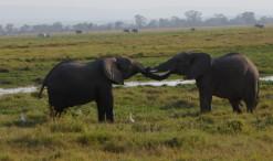 Slony v parku Amboseli