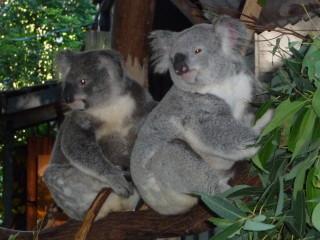 Koaly v rezervácii Lone Pine