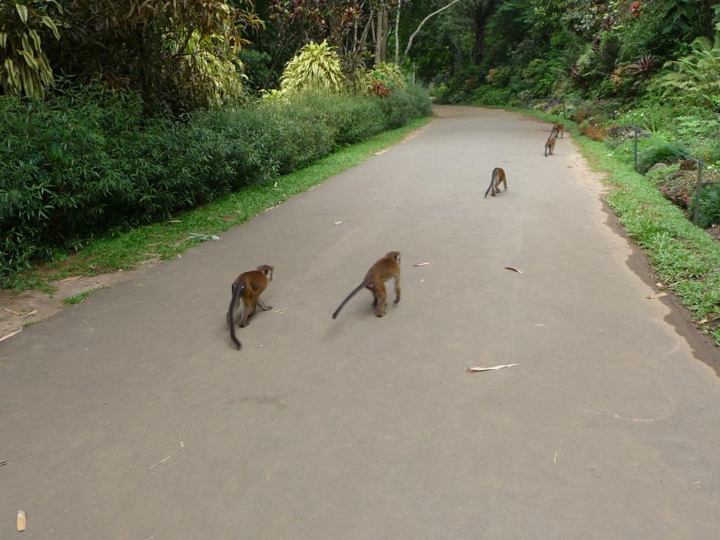 Opice v Kráľovskej botanickej záhrade