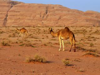 Ťavy v púšti Wádí Ram