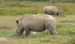 Biele nosorožce v parku Nakuru