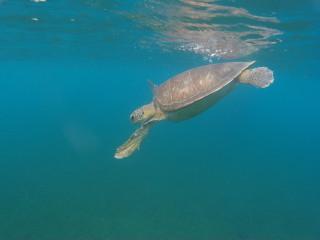 Korytnačka na Guadeloupe neďaleko pláže Malendure