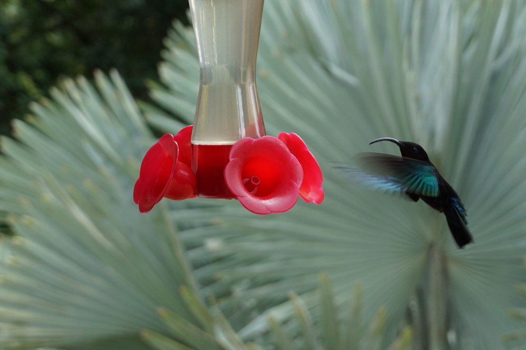 Kolibrík v botanickej záhrade Jardin de Balata na Martiniku