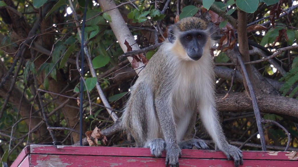 Opica v Bridgetowne